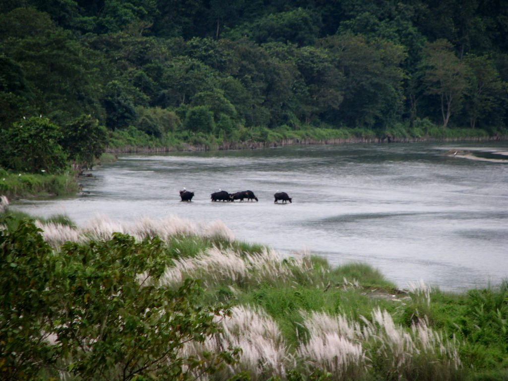 Wild Bisons crossing river Murti