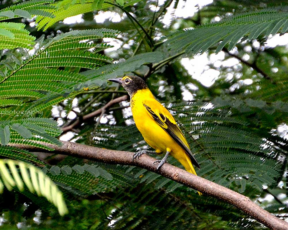 Black headed Oriole sighted in Jaldapara National Park