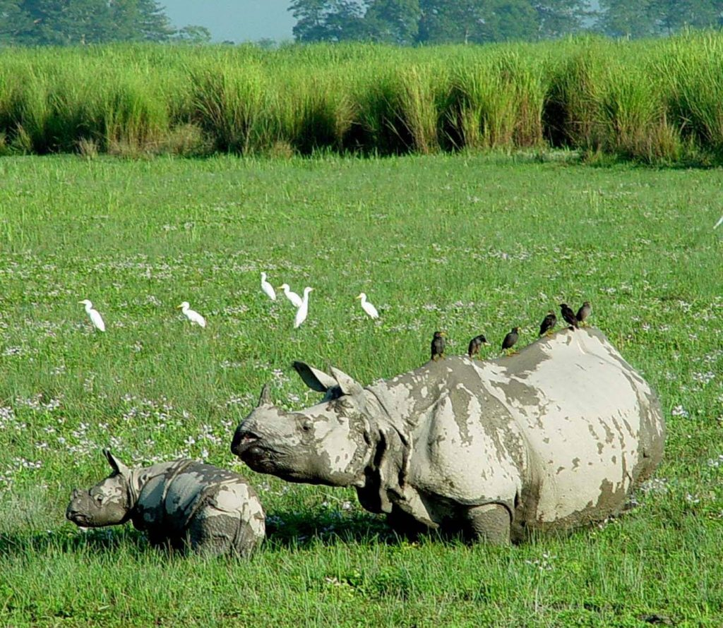 Majestic Asiatic one horned Rhinoceros with its young ones